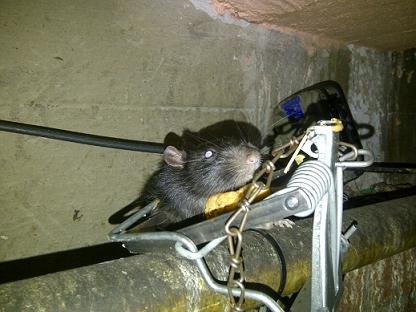 Rat Control Experts - Total PEst Control